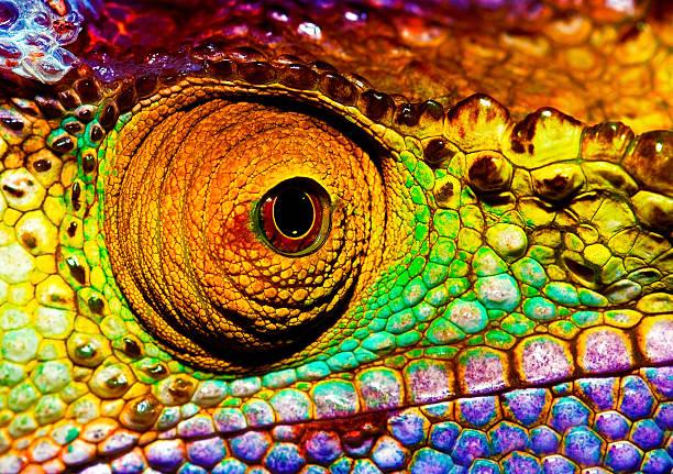 gadów oka - kameleon zdjęcia i obrazy z banku zdjęć