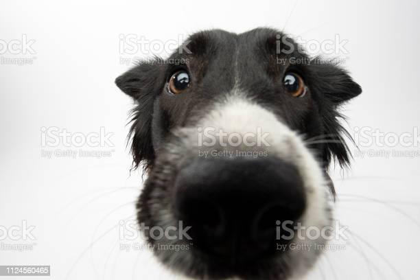 Rescue animal border collie picture id1124560465?b=1&k=6&m=1124560465&s=612x612&h=v6bqzvqwc js9xmwbcvcpn5jem1vgk6shlz12t8pchu=