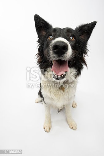 """Portrait of """"Liberty,"""" a 1 year old, female, Border Collie.  By using this photo, you are supporting the Amanda Foundation, a nonprofit organization that is dedicated to helping homeless animals find permanent loving homes."""