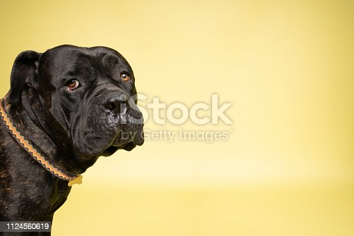 """Portrait of """"Orson,"""" 2 year old, male, brindle Mastiff mix.  He's 115 pounds but a gentle giant.  By using this photo, you are supporting the Amanda Foundation, a nonprofit organization that is dedicated to helping homeless animals find permanent loving homes."""