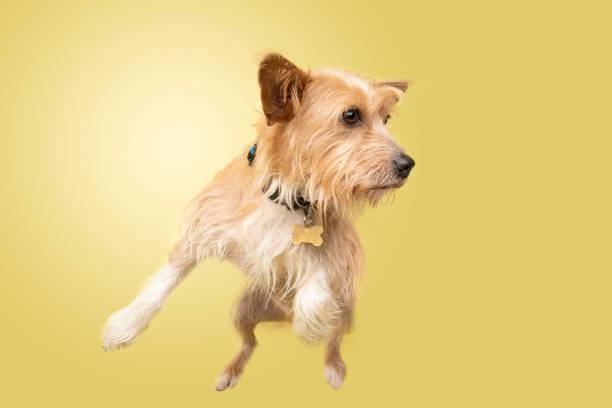 Rescue animal cairn terriercorgi mix picture id1124559052?b=1&k=6&m=1124559052&s=612x612&w=0&h=oflskpxffye7zwgbskltyn 5syoeiyhtkyxbohpx6ri=
