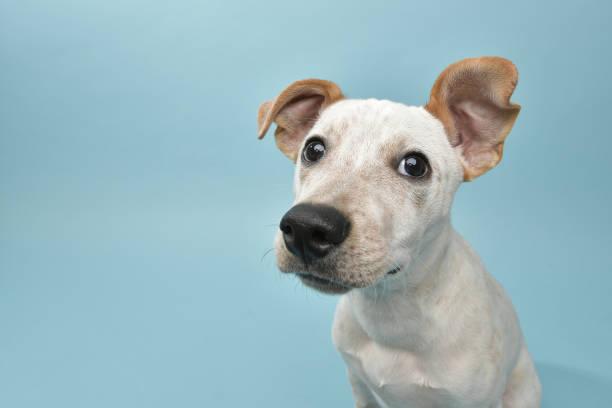 Rescue animal cattle dog mix puppy picture id1124560275?b=1&k=6&m=1124560275&s=612x612&w=0&h=le6kyjxwkn8fbhnjisgompeemejr1bvnwr8iorluo2a=