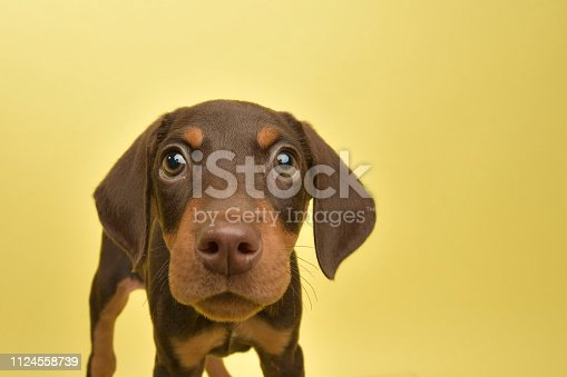 "Portrait of ""Doris,"" a 10 week old, female, chocolate and tan Doberman puppy.  She has a crooked spine but is very playful and active. By using this photo, you are supporting the Amanda Foundation, a nonprofit organization that is dedicated to helping homeless animals find permanent loving homes."