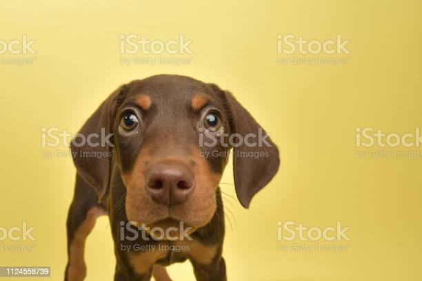 Rescue animal cute chocolate and tan doberman puppy picture id1124558739?b=1&k=6&m=1124558739&s=612x612&h=a8edhbxea2clziofp2b0wepe gva0 ugqeamzd9tygi=