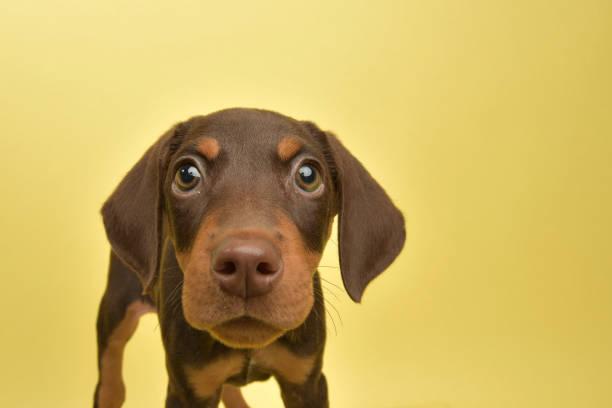 rädda djur - söt choklad och tan doberman valp - puppies bildbanksfoton och bilder
