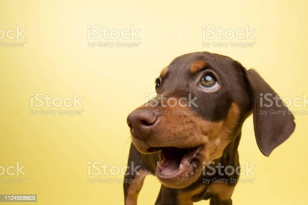 Rescue animal cute chocolate and tan doberman puppy picture id1124558903?b=1&k=6&m=1124558903&s=612x612&h=t769e5q7yeaakqhdgi6kfyzim7pvqkt63krlh9a04om=