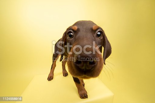 """Portrait of """"Doris,"""" a 10 week old, female, chocolate and tan Doberman puppy.  She has a crooked spine but is very playful and active. By using this photo, you are supporting the Amanda Foundation, a nonprofit organization that is dedicated to helping homeless animals find permanent loving homes."""