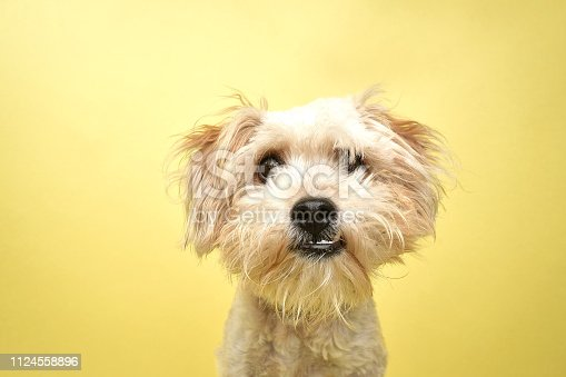 """Portrait of """"Leo,"""" a 1 year old, male Poodle/Terrier mix.  He had a front leg injury when he arrived at the Amanda Foundation. By using this photo, you are supporting the Amanda Foundation, a nonprofit organization that is dedicated to helping homeless animals find permanent loving homes."""
