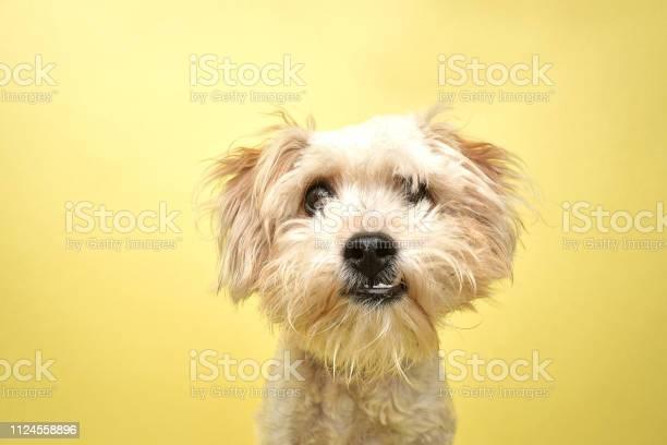 Rescue animal poodleterrier mix picture id1124558896?b=1&k=6&m=1124558896&s=612x612&h=kfrbirmyjyth02p2ehces1 vcdbpevzy wgnkvor6pc=