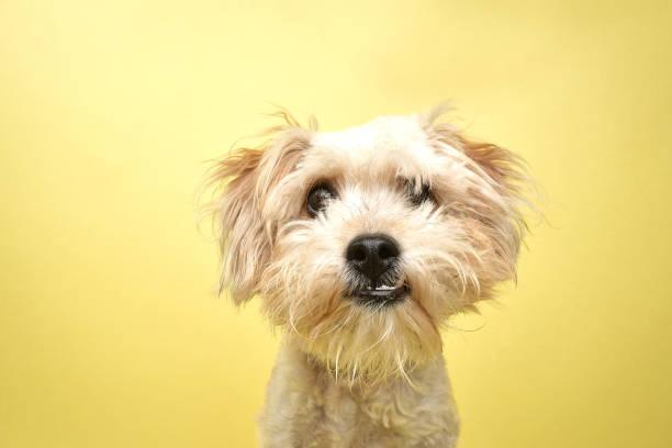 Rescue animal poodleterrier mix picture id1124558896?b=1&k=6&m=1124558896&s=612x612&w=0&h=bvfj7r 3igwdm7 afarluvaqgam5r0u48dvooyyf7mu=