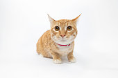 "Portrait of ""Quimby,"" a 9 month old, male, orange and white tabby, Domestic Shorthair cat. By using this photo, you are supporting the Amanda Foundation, a nonprofit organization that is dedicated to helping homeless animals find permanent loving homes."