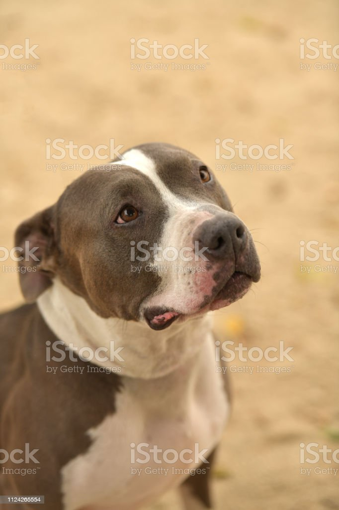 "Portrait of ""Casper,"" 5 year old, male, gray and white Pitbull mix...."