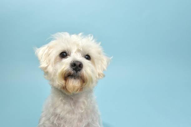 Rescue animal terrierpoodle mix picture id1124560347?b=1&k=6&m=1124560347&s=612x612&w=0&h= p80 hrxcnezbwmofzkgt0uwuneoyxg0xzwtnpryuqe=
