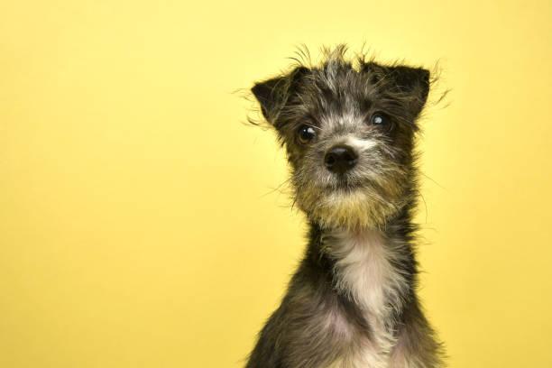 Rescue Animal - Terrier/Schnauzer mix puppy stock photo