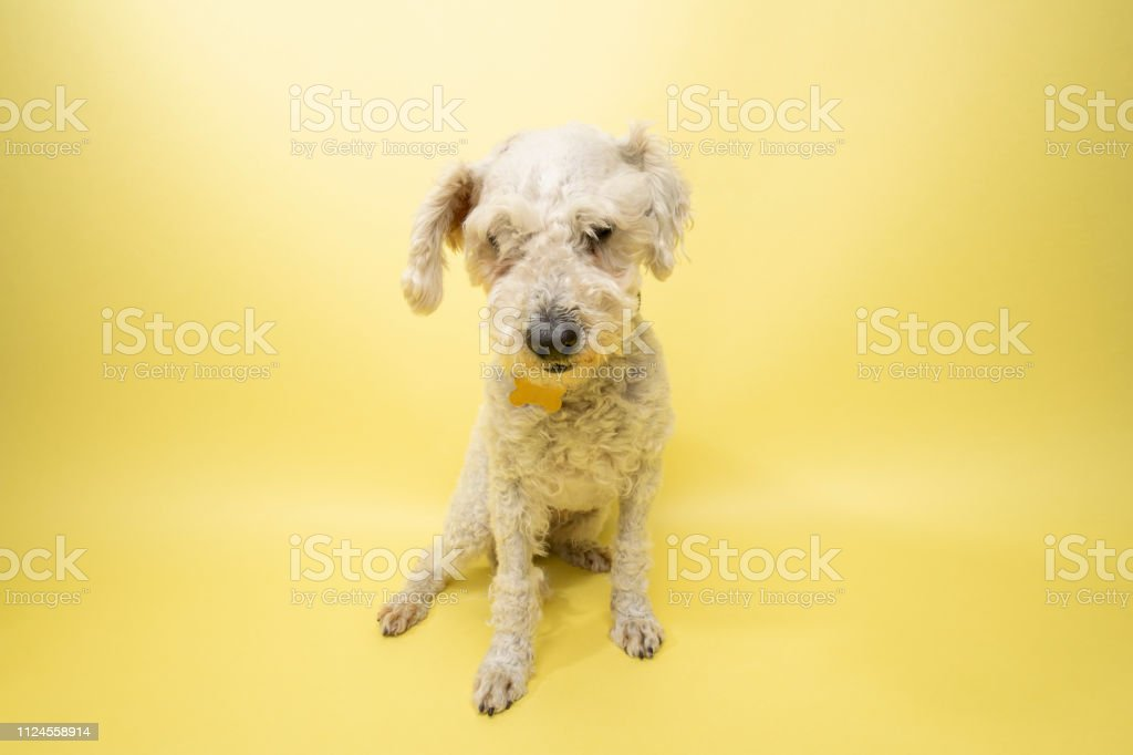 Rescue Animal White Poodle Mix Stock Photo - Download Image