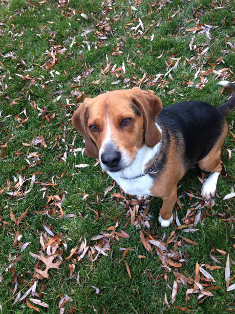 Rescue Beagle Dog, Happiness In Nature, Yard (1h1) stock photo