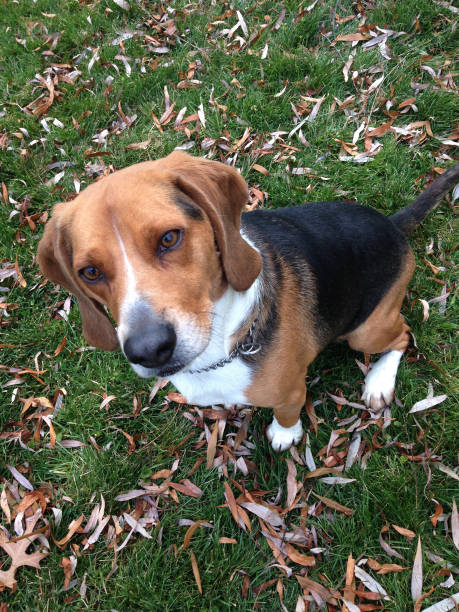 Rescue Beagle Dog, Happiness In Nature, Yard (1h2) stock photo