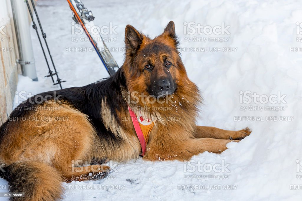 Rescue dog at Mountain Rescue Service stock photo