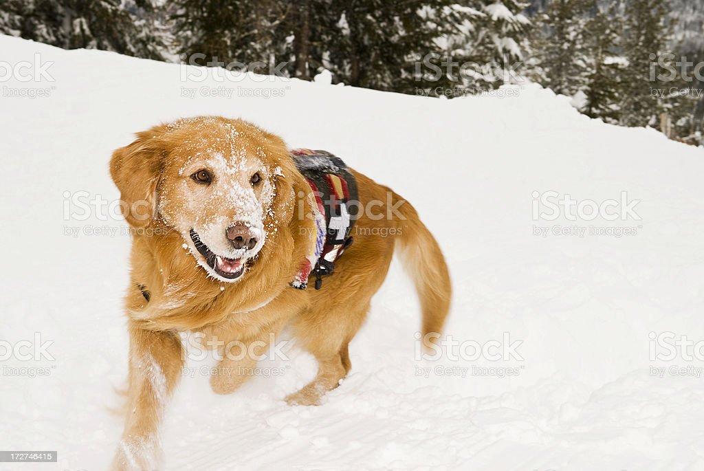 Rescue Dog in snow stock photo