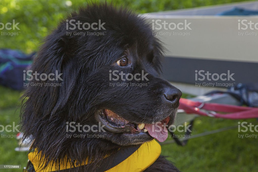 Rescue dog royalty-free stock photo