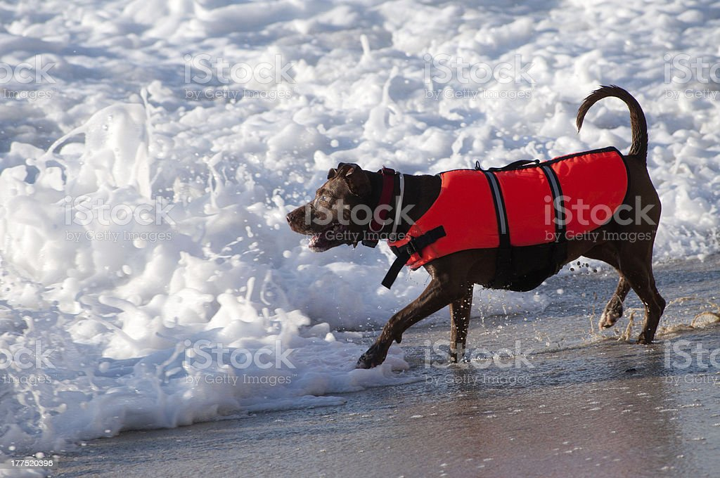rescue dog ready to save someone in the sea stock photo