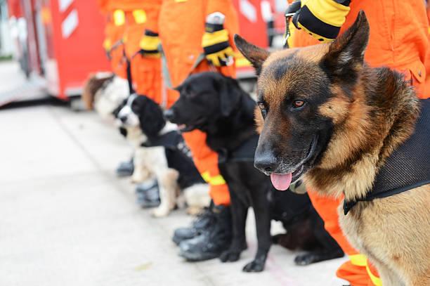 rescue hunden - militärisches training stock-fotos und bilder