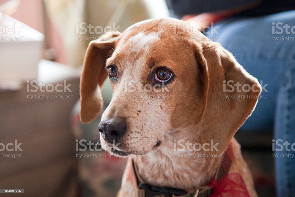 Rescue Hound stock photo