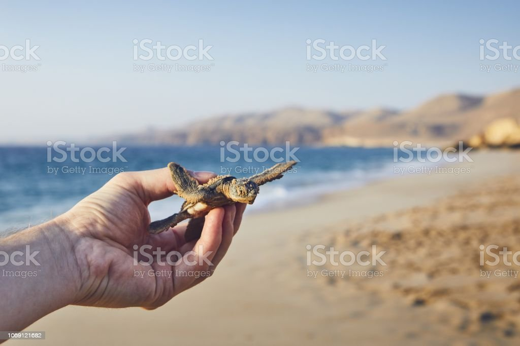 Rescue of green turtle stock photo