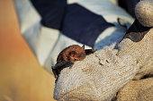 istock Rescued Big Brown Bat 916471720