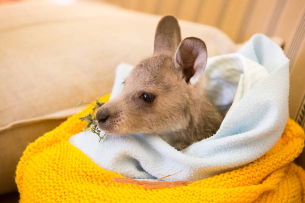 Rescued Kangaroo in an Orphanage in Australia stock photo