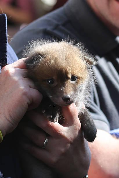 Geborgen Waise fox cub – Foto
