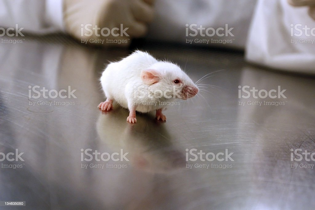 Research Mouse royalty-free stock photo