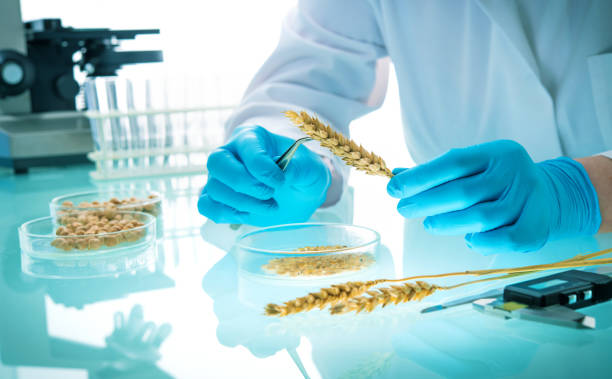 Researcher analyzing agricultural grains and legumes in the laboratory Researcher analyzing agricultural grains and legumes in the laboratory. GMO research of cereals. Testing of  genetically modified seeds genetic modification stock pictures, royalty-free photos & images
