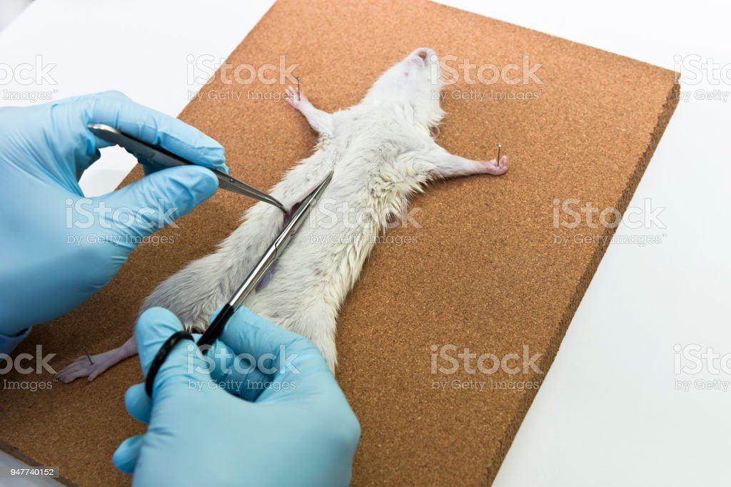 Fotografía de Investigador De Corta La Piel De Una Rata Experimental ...