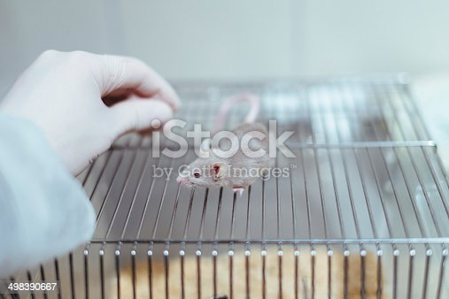 istock Researcher handling a lab mouse 498390667