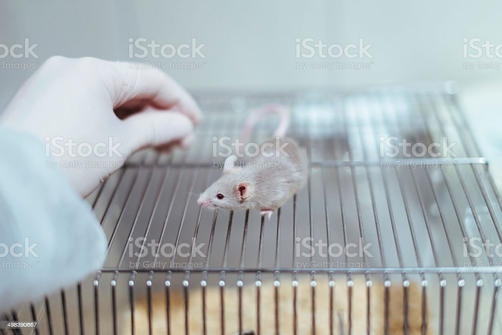 Researcher handling a lab mouse stock photo