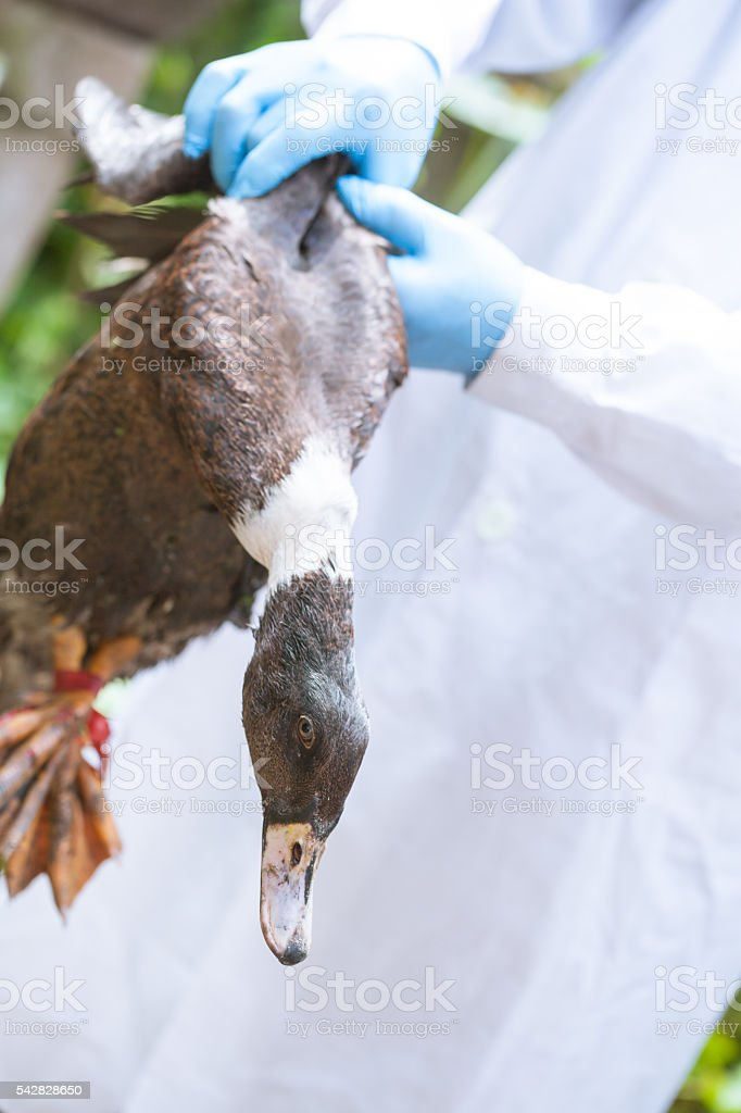 researcher hold the duck in hand stock photo