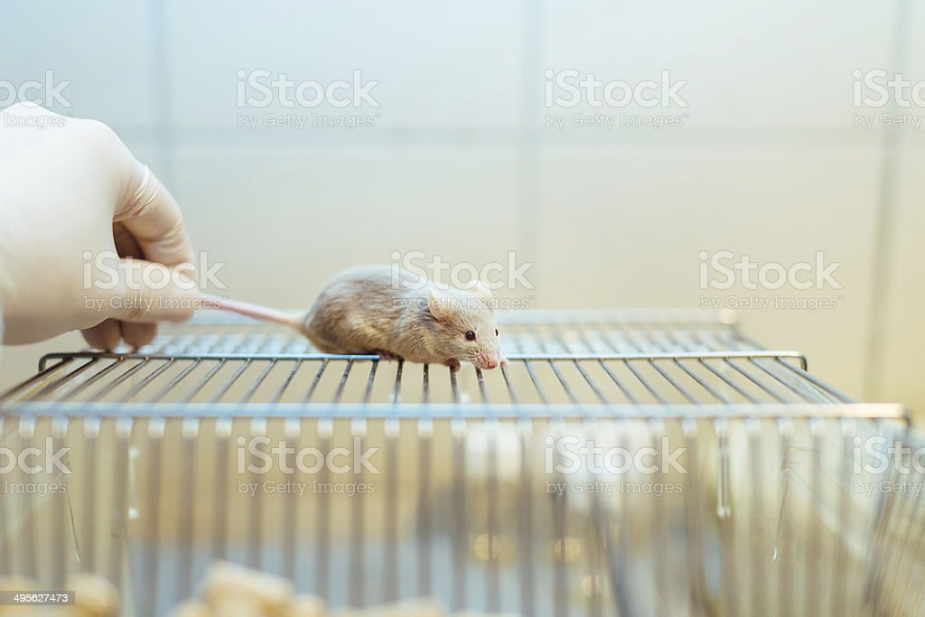 Researcher holding a lab mouse by its tail stock photo