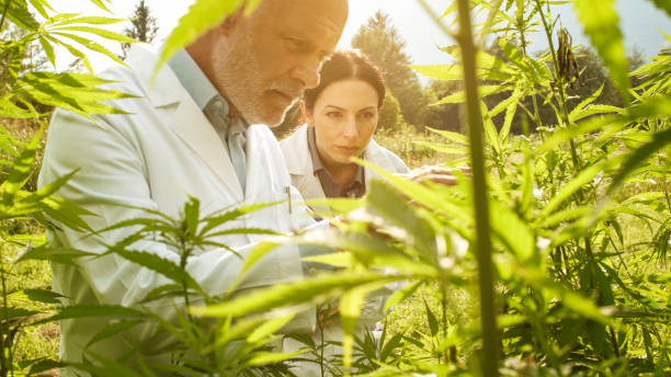 Researchers checking hemp plants in the field stock photo