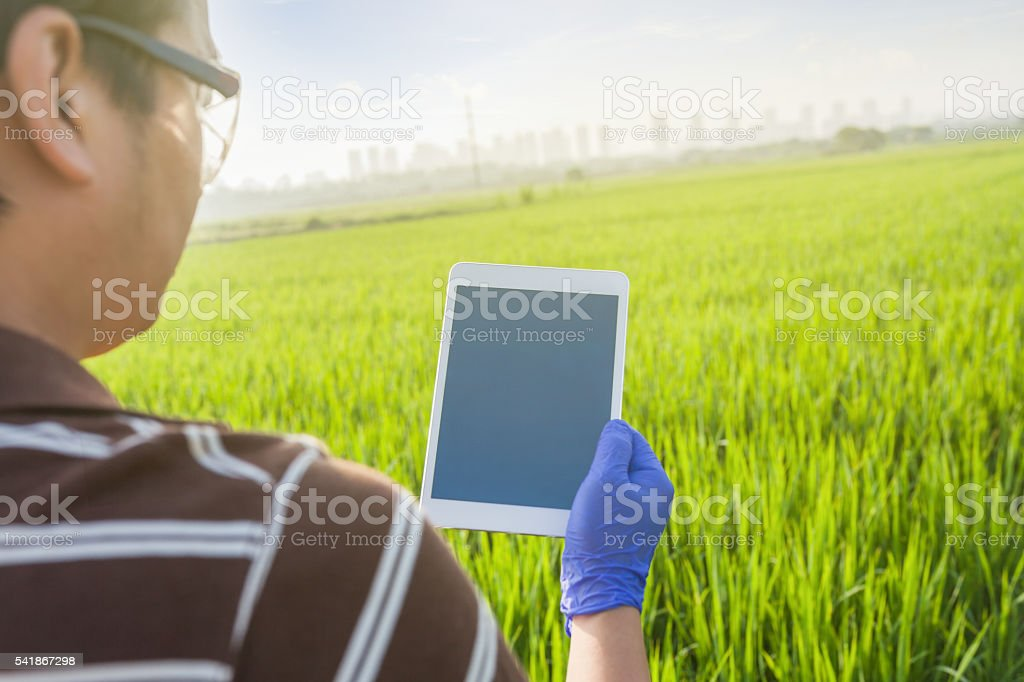 researcher's hand touch tablet in the paddy field stock photo