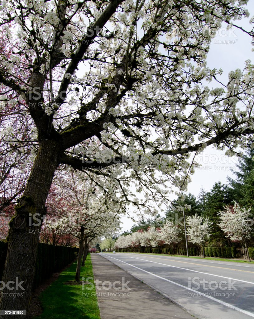 Residential street in Seattle suburbs with row of blooming cherry trees , Redmond, Seattle photo libre de droits