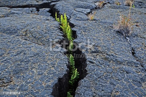 Resilient Ferns Growing Through Rock