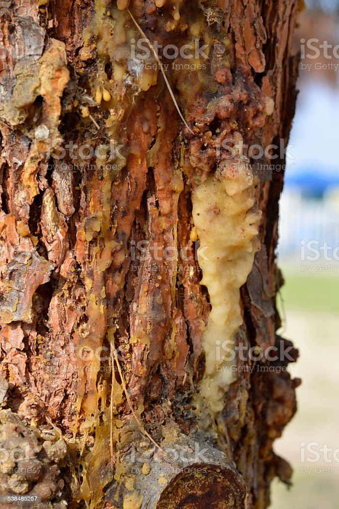 Resin adhesive on the trees. stock photo