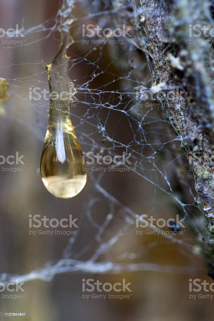 Resin drops with spider web in the forest stock photo