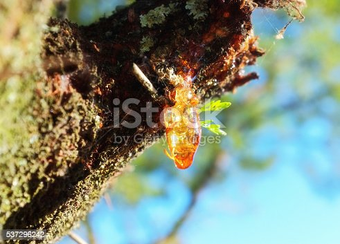 Resin oozing from a wounded tree. Focus is on the droplet of resin.