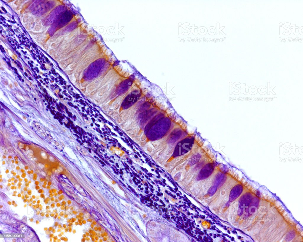 Respiratory epithelium. Goblet cells stock photo