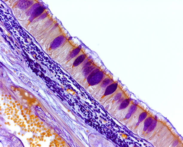 Respiratory epithelium. Goblet cells Tracheal mucosa lined by ciliated pseudostratified prismatic epithelium with goblet cells stained in purple as well as the elastic fibers located under the epithelium. Light microscope picture epithelium stock pictures, royalty-free photos & images