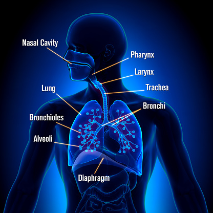 istock Respiratory System - detailed view 498511747