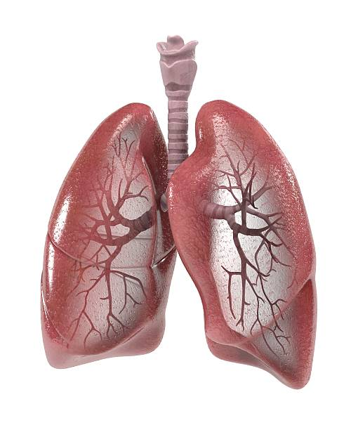 respiratory system 3d renderings of human respiratory system human lung stock pictures, royalty-free photos & images