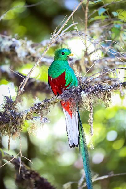 Resplendent quetzal in Costa Rica – Foto